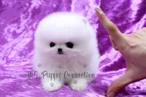 Adorable pomeranian Puppies ready for Sale