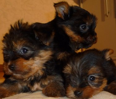 Male And Female yorkshire puppies Ready For A New