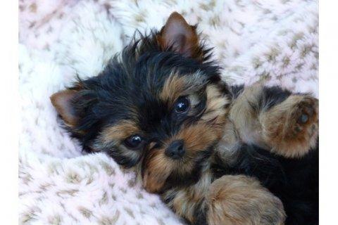 Cute Stunishing Yorkie Puppies For Adoption Free