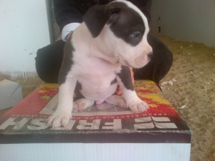 Pitpull puppies for sale