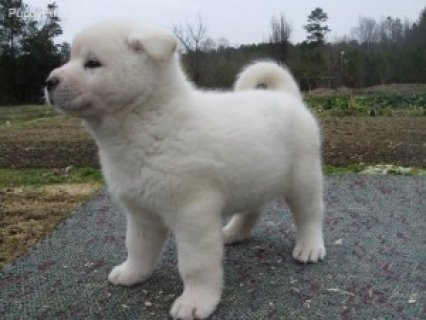 Absolute Joyful Akita For Sale