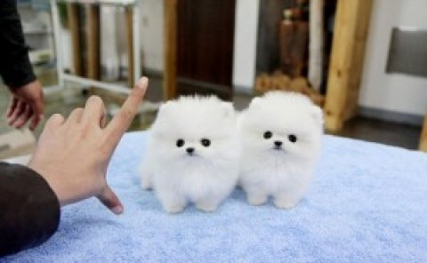 Two Stunning Pomeranian Puppies for Adoption