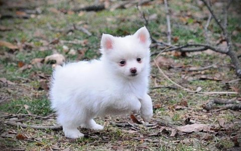 chihuahua puppies available for your home