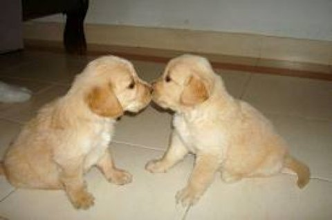 صور Supper Cute Male and Female golden retriever Puppies	 1