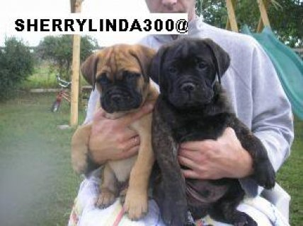 Male and female baby Bull Masiff puppies for adoption
