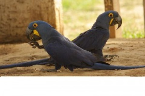 BEAUTIFUL HYACINTH MACAW PARROTS