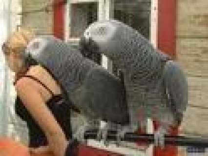 Amazing African Grey Parrot For Sale