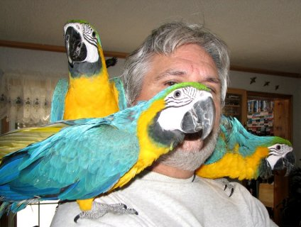Blue and Gold macaw parrots for free adoption