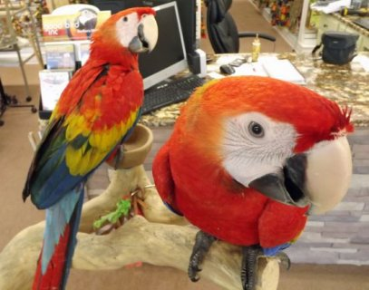 Proven breeding Pair of Scarlet macaws for sale