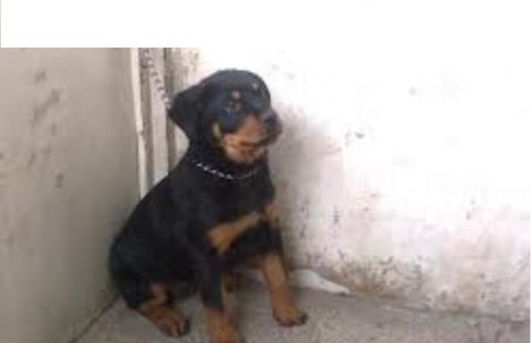 male rottwiller for sale 3 month