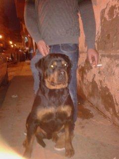 كلب روت وارد سيربيا ميدى جري  بسبور مكروشيب