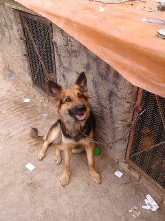 كلبه جيرمان 10شهور حيضه من يوم10