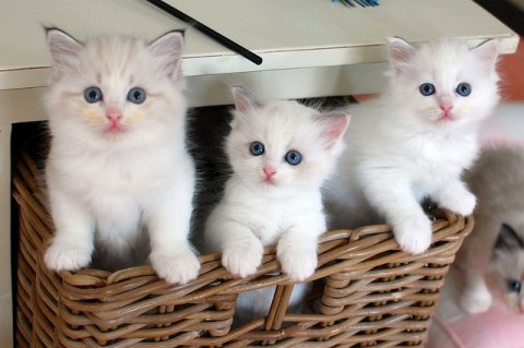 Sweet White Persian Kittens for adoption