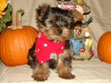 Micro pocket teacup Yorkie puppies