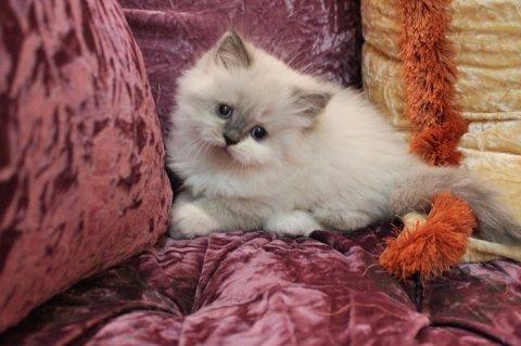 قطه جميله وبسعر مغرى ومعه اكلها هديه كيس دراى هديه