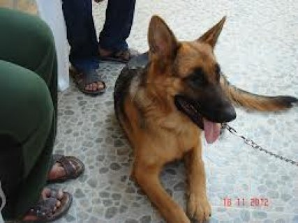 male germant shepard for sale pure 9 month
