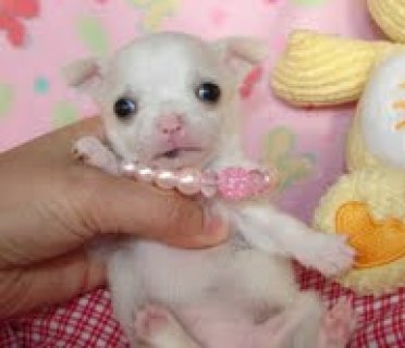 Adorable Male and Female Chihuahua puppies ready