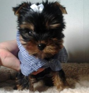 Adorable Yorkie puppies for sale3