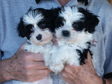 Havanese Puppies for good home...