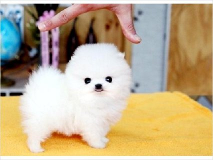 صور Healthy Home raised Pomeranian pups available	 1