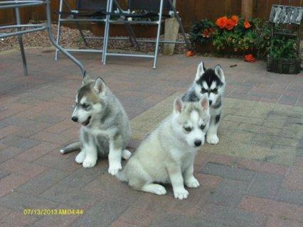 Beautiful Lovely Siberian husky puppies.