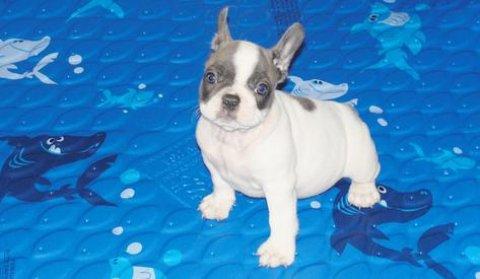 French Bulldog puppies for Adoption