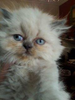 يوجد جميع انواع لقطط واجمل الاشكال وارخص الاسعار