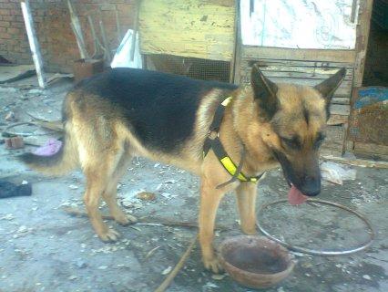 كلب بلاك جاااااااااك   للبيع
