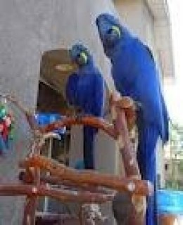 Hyacinth Macaw Parrots with a cage1