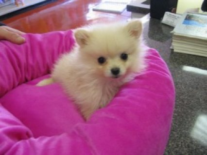 Cute Pomeranian Puppies Available22