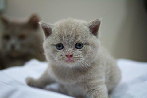 British Short-haired Kittens for sale