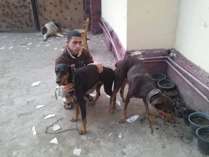 من اقوى الدوبرات بمصر