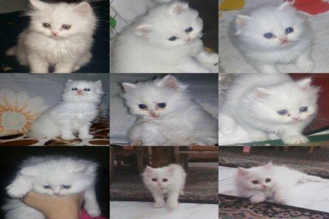 قطة شيرازى انثى للبيع