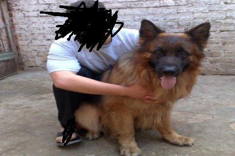 كلب جيرمان 11 سهر تقليب عالى
