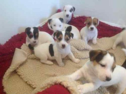 Ready Now Jack Russel Puppies, Male & Female