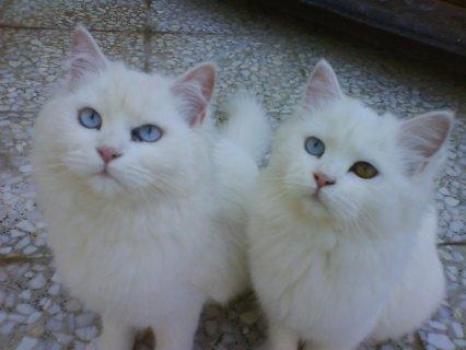 قطط للبيع بارخص الاسعار فى مصر