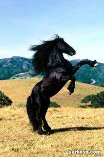الحصان الاسود من تميمة 01155050988