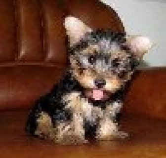 Yorhsire terrier Puppies For Adoption