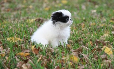 sweet and adorable japanese chin puppies for adoption