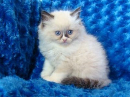 Adorable Looking Ragdoll Kittens Available