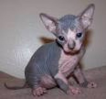 outstanding sphynx kitten for re-homing
