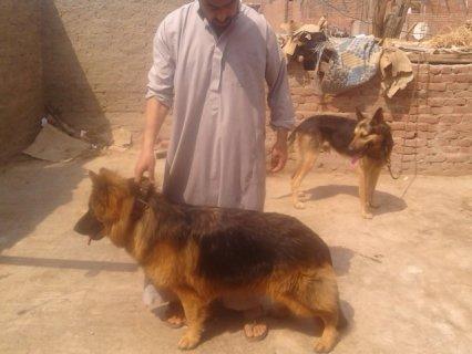 كلب جيرمان 12 شهر اهالى مستورده