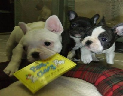 Available little french bulldog puppies