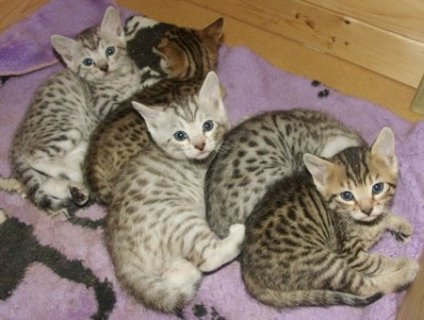 Bengal ,Savannah and Serval kittens for sale