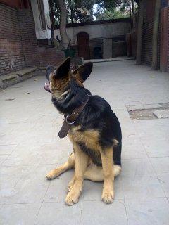 للبيع كلبة جيرمن 5 شهور