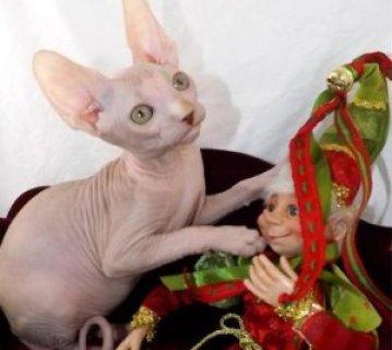 Purrbalds Sphynx Cats  D