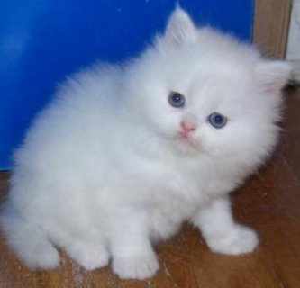 Nice Looking Persian Kittens Ready For Good Homes