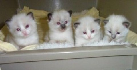Ragdoll kittens New Years Addition to your family..  W