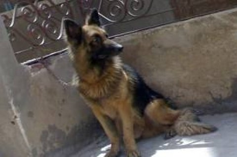 fmale german shepard for sale now