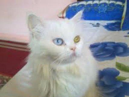 انثى للبيع من اجمل القطط وباسعار مغريا جدا